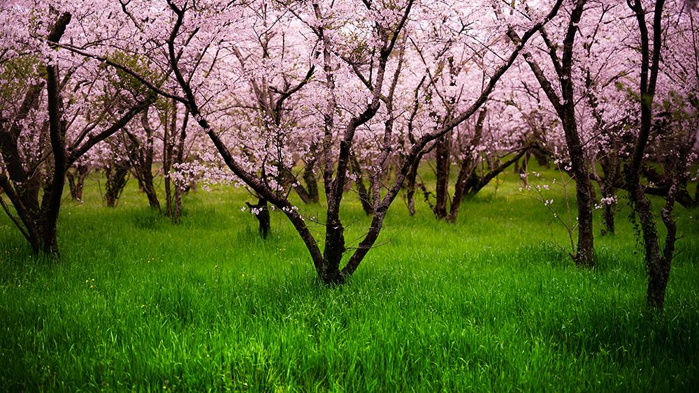 香春町椿西公園の桜