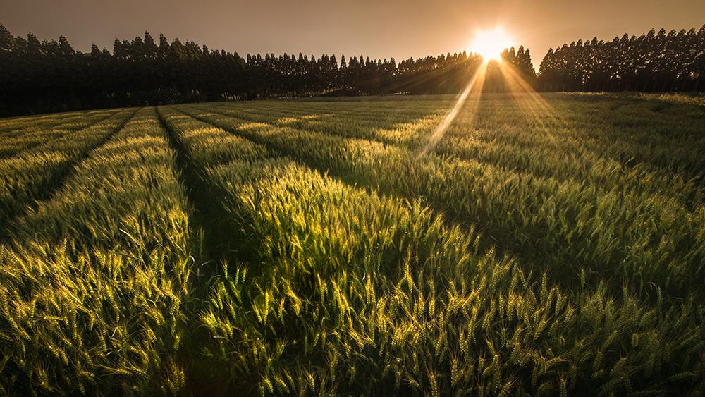 川崎町の麦畑1