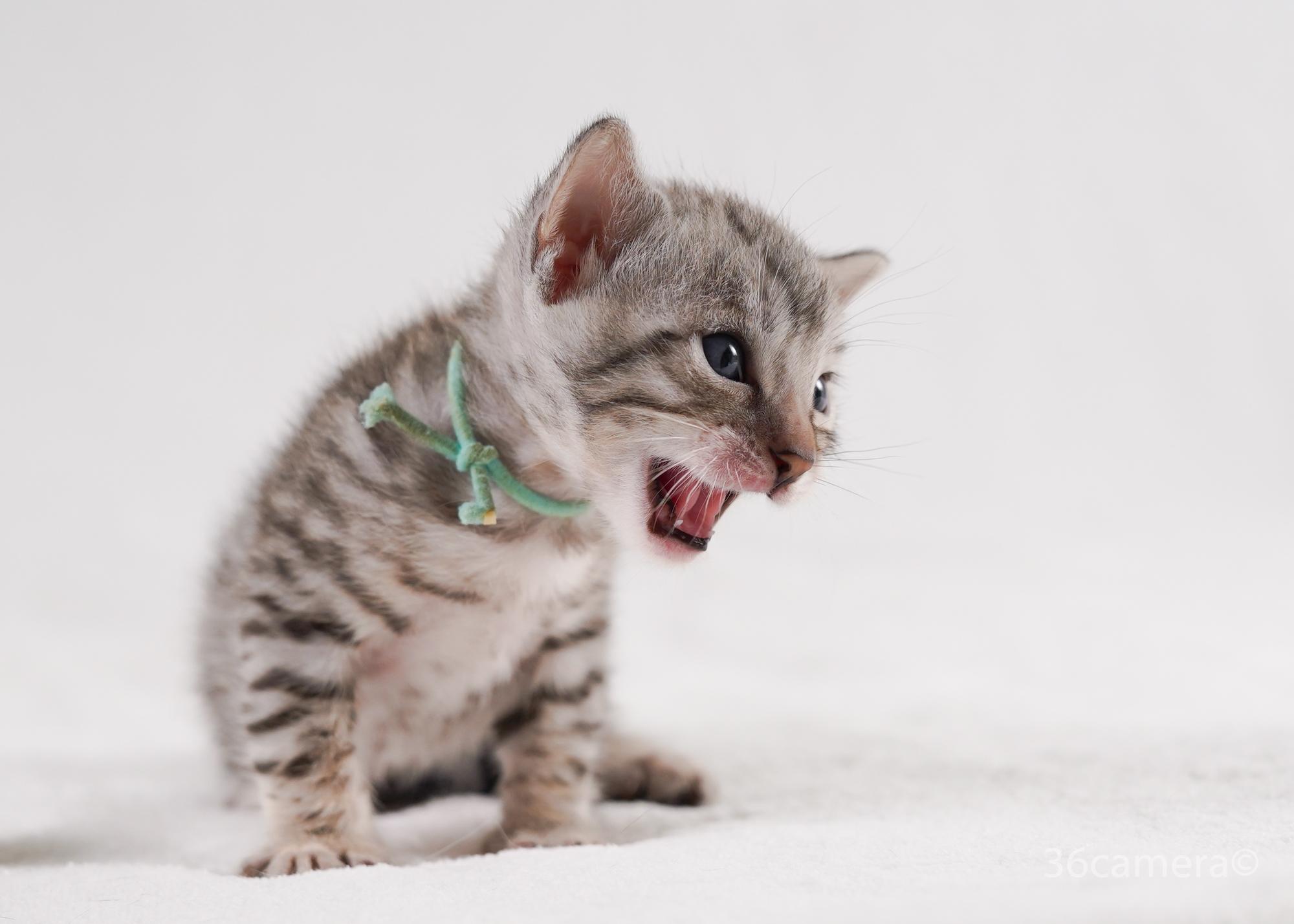 出張撮影ペット 猫