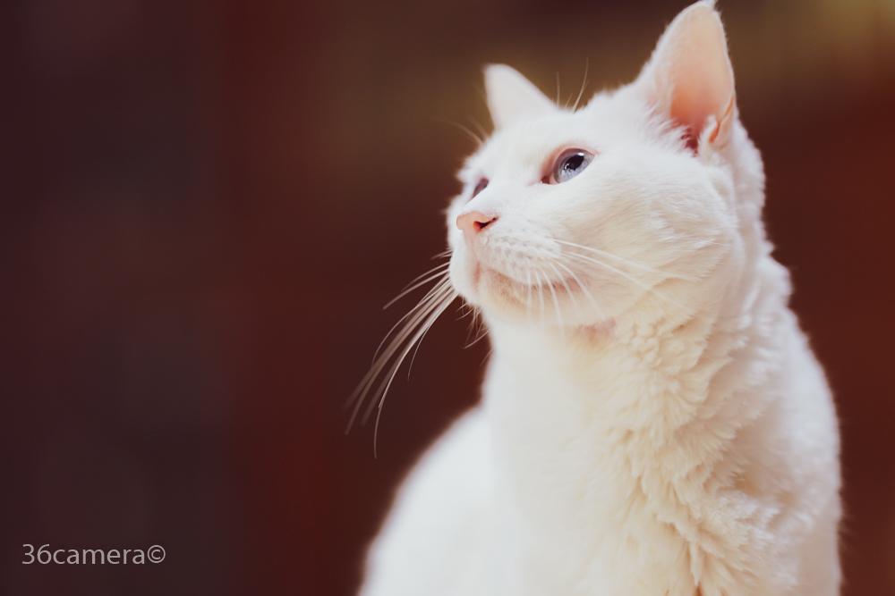 白猫里親募集中